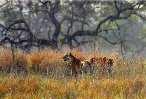 Foreigners prefer to visit national parks in MP