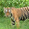 sariska-tiger-th