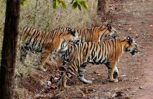 tigers, bandhavgarh