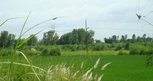 The feathery swish of kash in bright white clumps. In west Uttar Pradesh