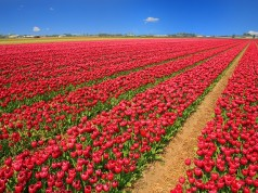 holland-tulip-field