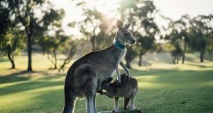 image of kangaroo in victoria-australia