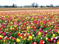 kashmir-tulips