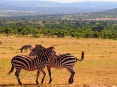 kenya wildlife zebra images