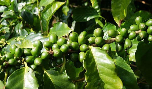 coffee-beans-green-