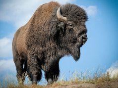 bison-in-tripura-