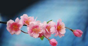 cherry blossom in Shillong