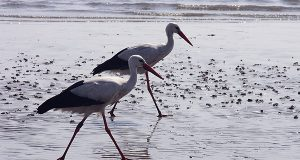 storks-birds-wildlife