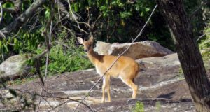 deer-wildlife