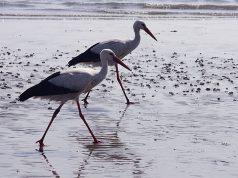 storks-birds-wildlife